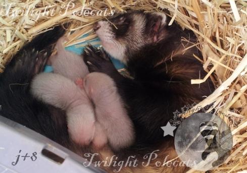 Midona et ses petits (8 jours)